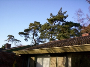My house and pine trees