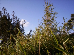 Bamboo with blue sky
