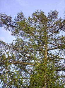 Our Japanese Larch Tree