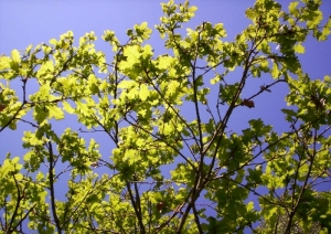Leaves against the Sunny Sky
