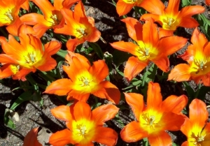 Orange Tulips - Close-up